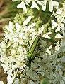 2018-07-26 Thick-legged flower beetle (Oedemera nobilis) on a Meadowsweet, (Filipendula ulmaria), Trimingham.jpg