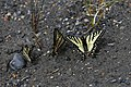 2019-06 Jasper National Park (06) Papilio canadensis.jpg
