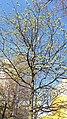 20200412 142622 April 2020 in Lodz tree.jpg