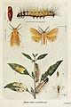 31-Indian-Insect-Life - Harold Maxwell-Lefroy - Diacrisia-obliqua.jpg