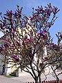 4. Bucuresti, Romania. Magnolie inflorita in Curtea Bisericii Sfanta Tereza a Pruncului Isus (Intrare la Cimitirul Bellu Catolic).jpg