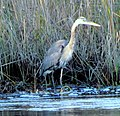 44 Great Blue Heron Bennetts Point RD Green Pond SC 6872 (12398261834).jpg