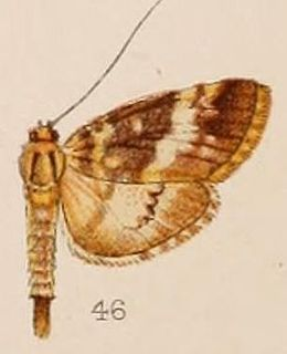 <i>Lygropia</i> genus of insects