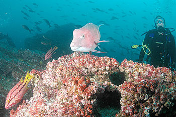 Diver, Hogfish and Parrotfish, Darwin Island, ...
