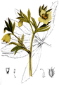 AMP-Plate 008-pg 0055-Helleborus viridis.png