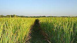 A Paddy Field in Bangladesh.jpg