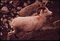 A Young Ram, Not Yet Mature Enough to Be Hunted Because He Lacks a Full 3-4 Curl to His Horns, Approaches a Salt Lick. Grit and Dirt on the High Rock Ledges Have Stained His Coat a Pinkish Brown 08-1973 (3971226527).jpg