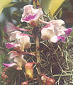 A and B Larsen orchids - Aerides falcata 928-17x.jpg