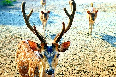 A deer in sundarban.jpg