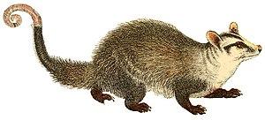 Marsupial - 60 px