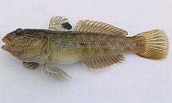 A large neogobius melanostomus.jpg