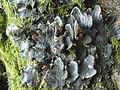 A lichen - Peltigera membranacea - geograph.org.uk - 961132.jpg