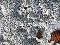A lichen - Porpidia cinereoatra - geograph.org.uk - 1217399.jpg