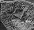 A monograph of the terrestrial Palaeozoic Arachnida of North America photos 47-52 48.png