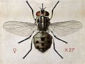 A stable fly (Stomoxys calcitrans). Coloured drawing by A.J. Wellcome V0022539.jpg