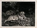 A tiger and a sleeping leopard Wellcome V0048114.jpg