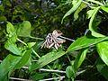 Abelia mosanensis 2016-05-09 9646.jpg