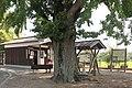 Abiki station (Big tree of ginkgo).jpg
