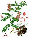 Abrus precatorius - Köhler–s Medizinal-Pflanzen-002.jpg