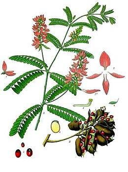 Abrus precatorius - Köhler–s Medizinal-Pflanzen-002