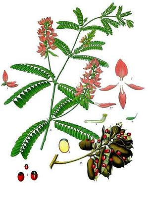 Paternostererbse (Abrus precatorius), Illustration