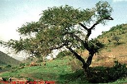 Acacia sieberiana 1