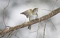 Acadian-flycatcher-1.jpg