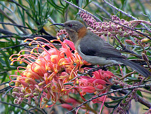 Western spinebill - The female is smaller and plainer than the male.