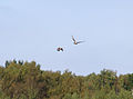 Accipiter gentilis chasing Pandion haliaetus.jpg