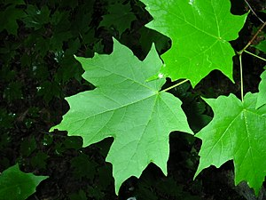 Acer saccharum - Sugar maple foliage