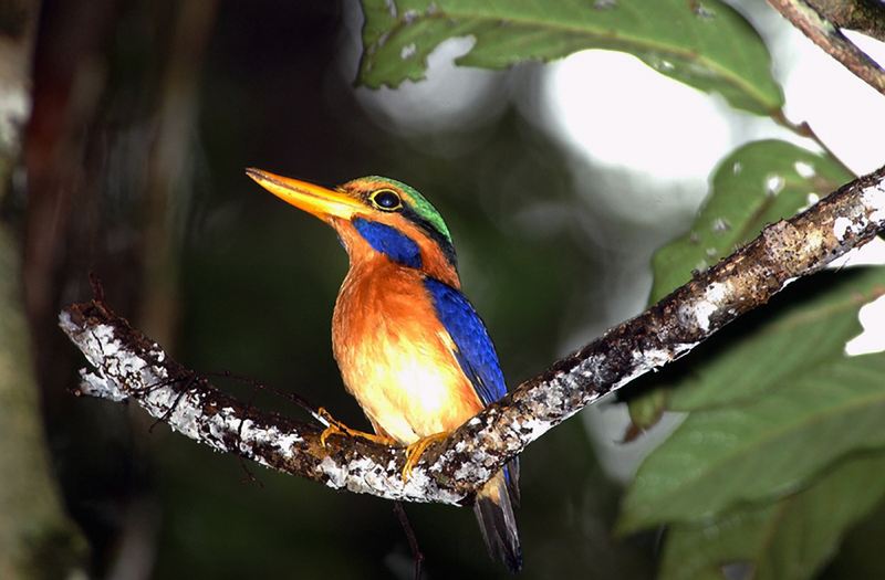Photo: Jakob Wijkema: Rufous-collared Kingfisher (Actenoides concretus): Deforestation threatens its survival.
