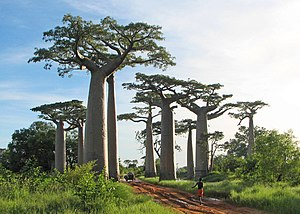 Geography of Madagascar - Baobabs near Morondava