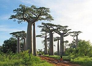 Geography of Madagascar - Baobabs near Morondava