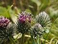Adelphocoris lineolatus 110591389.jpg