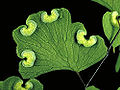 Adiantum aethiopicum.jpg