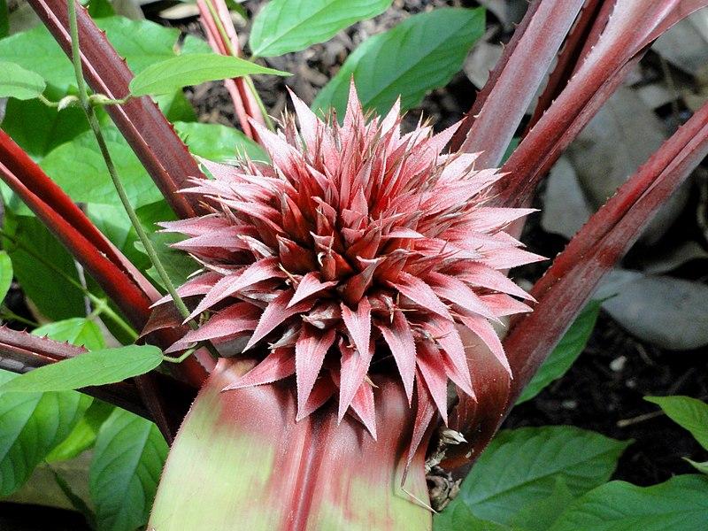 File:Aechmea tayoensis - Denver Botanic Gardens - DSC00914.JPG