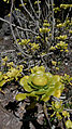 Aeonium manriqueorum98.JPG
