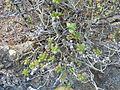 Aeonium sedifolium (Jardín Botánico Canario Viera y Clavijo) - 2012.jpg