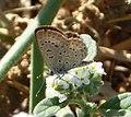 African Grass Blue. Zizeeria knysna (32741515116).jpg