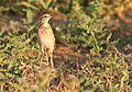 African Pipit, Anthus cinnamomeus, at Mapungubwe National Park, Limpopo, South Africa (18127405860).jpg