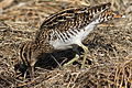 African Snipe, Gallinago nigripennis at Marievale Nature Reserve, Gauteng,South Africa (21508220422).jpg