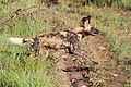 African Wild Dog on the chase (21016629372).jpg