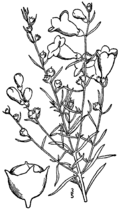Agalinis fasciculata drawing.png