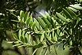 Agathis australis in Christchurch Botanic Gardens 03.jpg