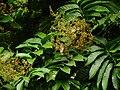Aglaia spectabilis flower 2484.jpg