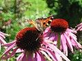 Aglais urticae - Eisenhut mit Schmetterling - panoramio.jpg