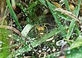 Aglaoctenus lagotis leaving the mother's cobweb for the first time.jpg