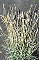 Agropyron cristatum-USDA.jpg