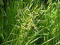 Agrostis stolonifera (3820997510).jpg