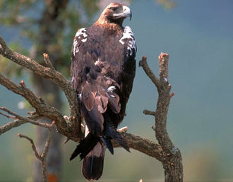 Spanish imperial eagle - Adult Spanish imperial eagle